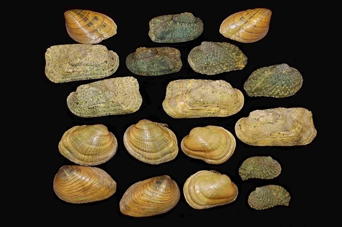 Freshwater Mussels in the Midwest - Part 1