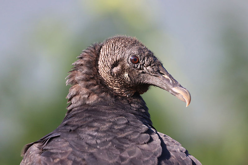 Nature's Trick-or-Treaters—Black Vultures