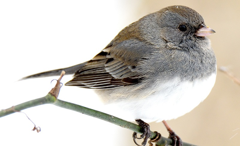 Species Spotlight: Dark-eyed Junco