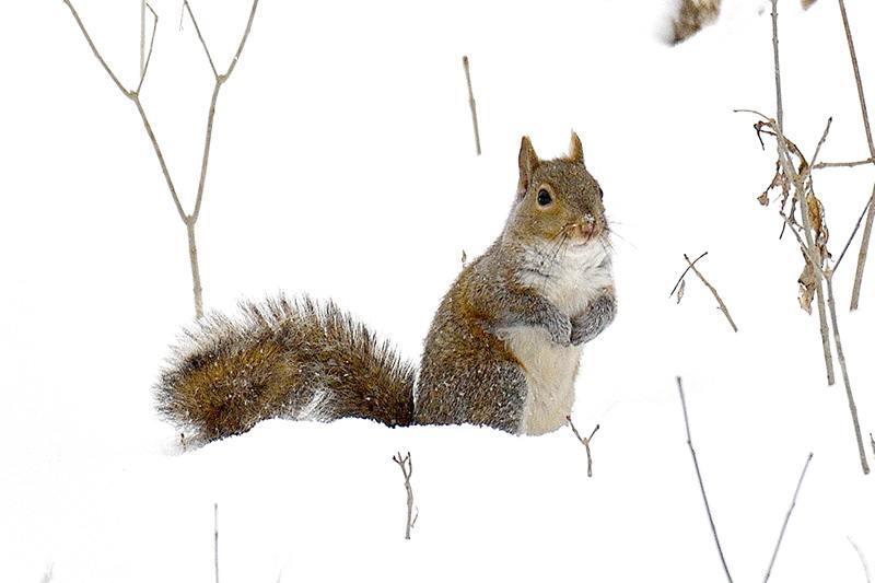 Species Spotlight: Eastern Grey Squirrel