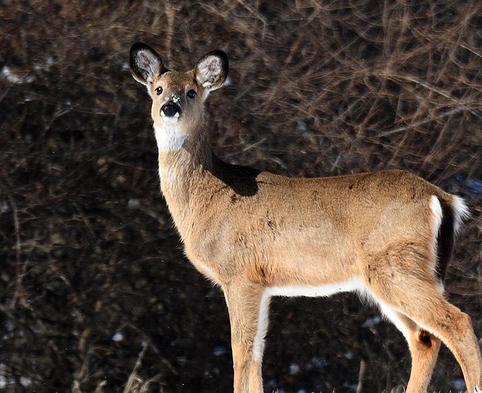 Species Spotlight: White-tailed Deer Foraging in Winter