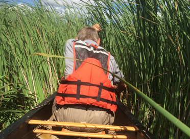 Lon makes laborious headway through hybrid cat tails - MN Agassiz National Wildlife Refuge.